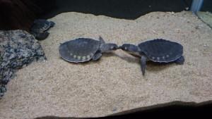 ブタバナガメ