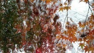 雪に埋もれた紅葉